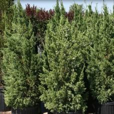 Juniperus chinensis Keteleeri - Chinese Juniper