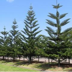 Araucaria heterophylla - Norfolk Island Pine