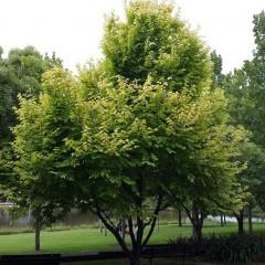 Ulmus glabra 'Lutecens' - Golden Elm