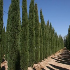 Cupressus sempervirens Glauca - Pencil Pine Conifer