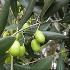 Olea uropaea - Olive Tree
