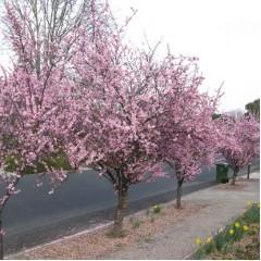 Prunus x blireana - Purple Leafed Plum