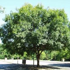 Ulmus parvifolia - Chinese Elm